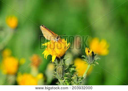 A small orange butterfly sits on a yellow flower. Small skipper butterfly. The small skipper (Thymelicus sylvestris) is a butterfly of the Hesperiidae family.