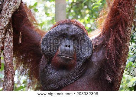 Closeup of hanging alpha male orangutan Tanjung Puting National Park Borneo.