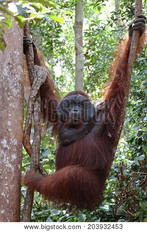 Hanging alpha male orangutan Tanjung Puting National Park.