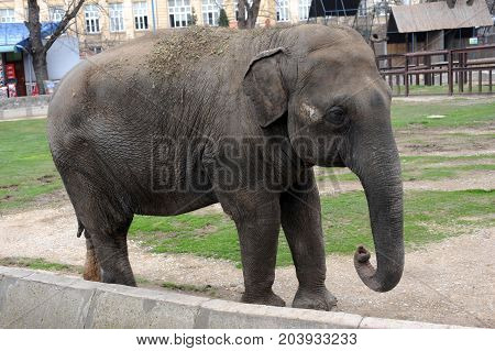 Big grey Elephant in the zoo garden