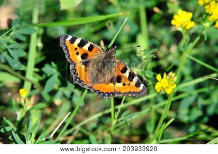 Butterfly Small Tortoiseshell. The small tortoiseshell is a colourful Eurasian butterfly in the family Nymphalidae.