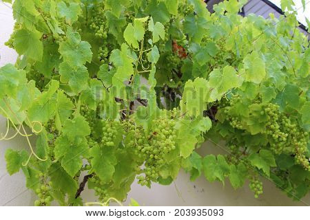 Bunch of white grapes on vine stock against the wall of an house
