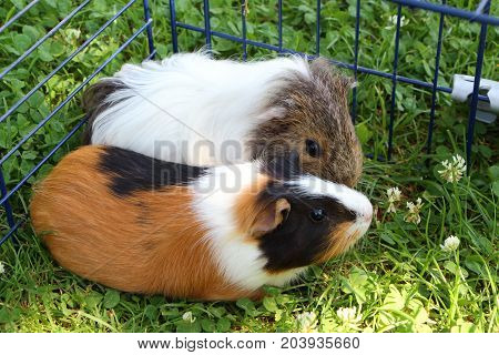 Two guinea pigs under a wire fencing in the grass of a garden