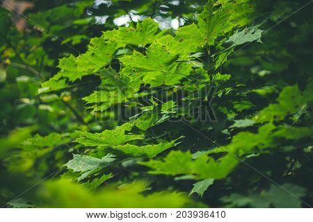 Green Maple Leaves Sunlight Background. Summer, Autumn