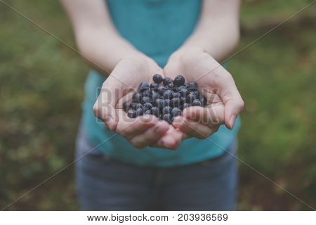 Blueberries In Woman Hands In Forest. Fresh Blueberries In Hands. Hands Full Of Blueberries