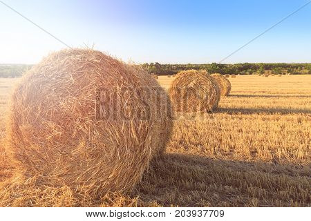 Agricultural field after harvesting wheat. Rolls of hay lined up in row