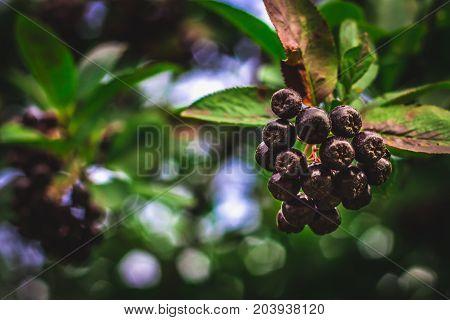Elderberry. Closeup View Of Wet Elderberry's Bunch Over Green Leaves. Autumn Forest Berry After Rain