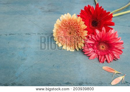 Lovely gerbera daisy flowers on turquoise shabby chic background. Festive greeting card