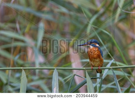 Female common, eurasian or river kingfisher, Alcedo atthis, perched on a small branch, Switzerland