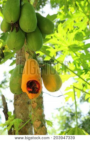 Papaya hanging on tree with in nuture