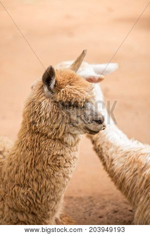 Close up of curious brown alpaca in the farm.