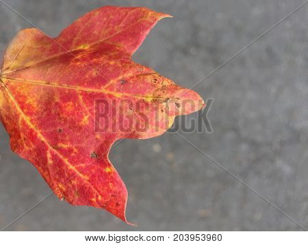 burnt orange and red crisp autumn leaf found on the ground