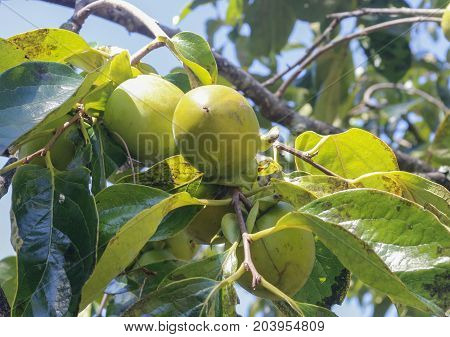 Green persimmon on tree - vietnamese persimmon