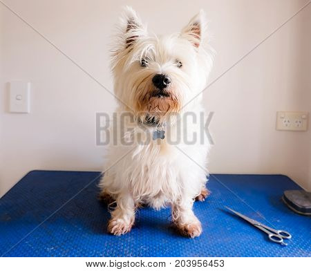 Scruffy dirty west highland white terrier westie dog on grooming table with scissors
