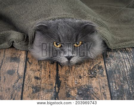 Funny cat under a blanket. The concept of heat cold comfort hide