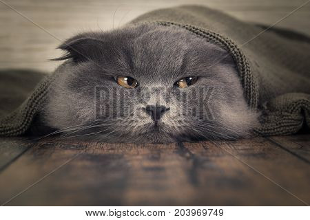 Funny cat under a blanket. The concept of heat cold comfort