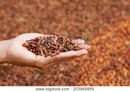 Crop of fresh clove spice flowers stacked up in heap on woman palm on background of drying raw buds at plantation. Tropical plants producing and export scented herbs and aromatic oil in Indonesia