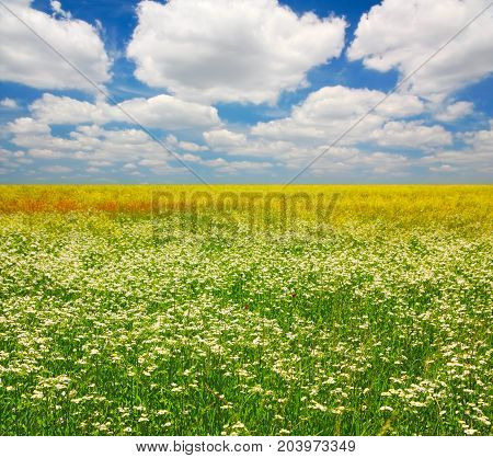 Landscape field camomiles in the steppe against of a cloudy sky
