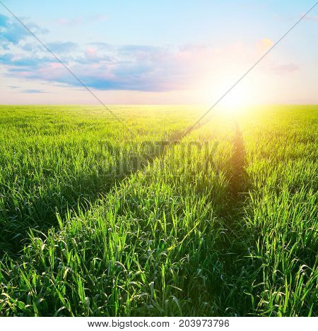 Track in the field of barley at dawn in rays of a rising sun. Agriculture landscape