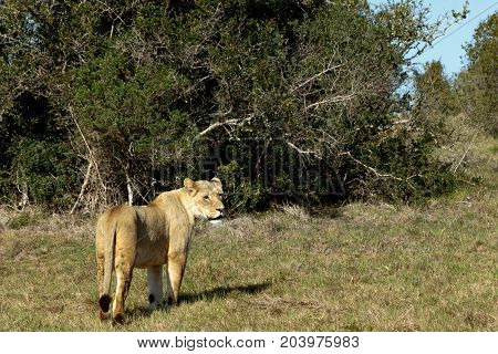Lioness Standing And Staring In A Distance