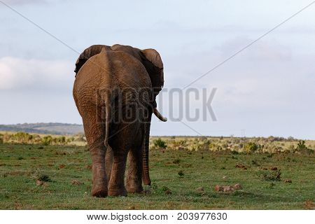 Backend view of an Elephant walking towards the mountains in the field.
