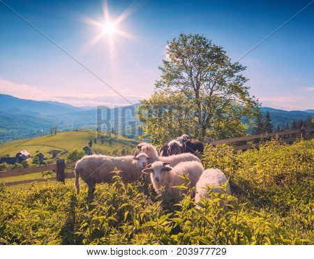 Herd of sheep grazing on a meadow in a spring carpathian mountain valley. Ukraine Europe.