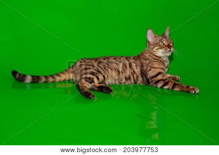 Beautiful bengal cat resting after a meal. Pet animals.