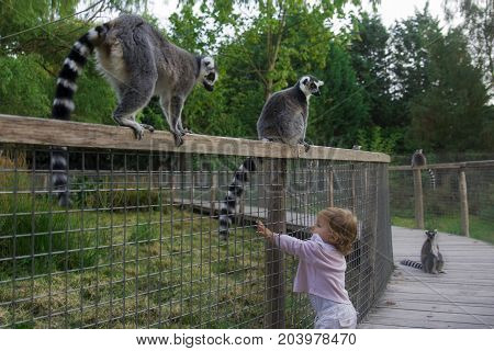 A girl in the zoo wants to touch the tail of a lemur. Ring-tailed lemur