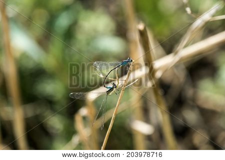 Two dragonflies of variable damselfly in the process of pairing (Coenagrion pulchellum)