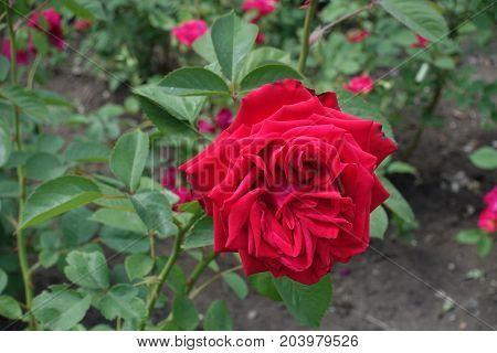 Crimson Red Double Flower Of Garden Rose