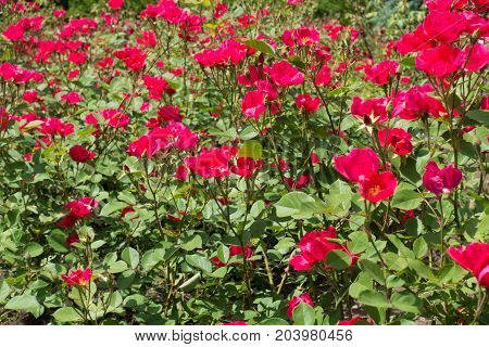 Flowerbed With Many Simple Magenta Rose Flowers