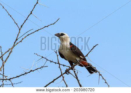 Big hangbird on a tree. Tarangire, Tanzania