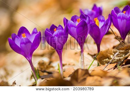Spring crocus flowers on a yellow leaves.