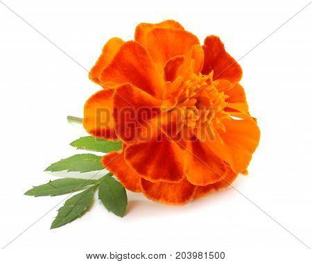 Orange Marigold Flower, Tagetes Erecta, Mexican Marigold, Aztec Marigold, African Marigold Isolated