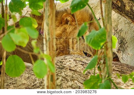 Detailed view of Lion head hidden on a tree branch with green leafs