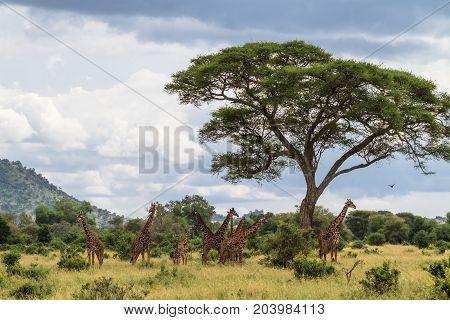 Palisade of necks. Very big herd of giraffes. Tarangire, Tanzania