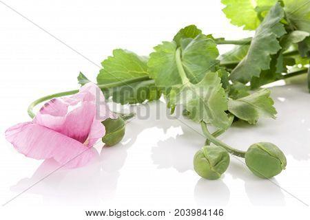 Poppy blossom isolated on white background. Purple poppy flower.