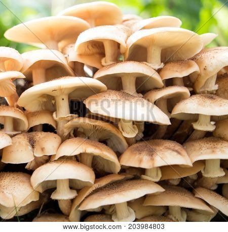 close up of Eatable mushrooms Honey agarics growing in the forest