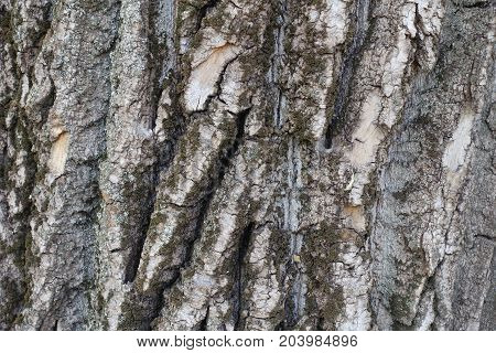Deeply Fissured Bark Of Old Cottonwood Tree