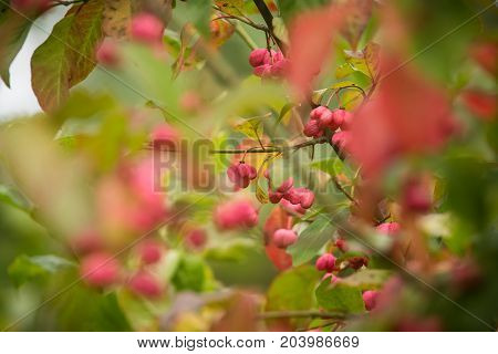 A beautiful pink fruits of spindle tree in natural habitat. Spindle branch on natural background in autumn.