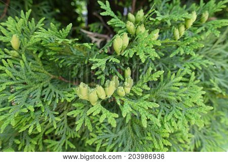 Immature Female Cones Of Northern White Cedar