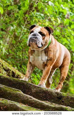 English Bulldog Or British Bulldog