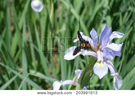 Xylocopa Bee Pollinating Flower Of Butterfly Iris
