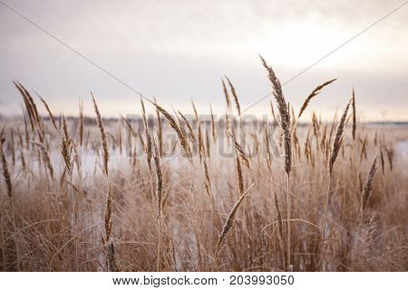 Autumn field with wild spikelets. Toned photo of wild wheat spikelets in field.