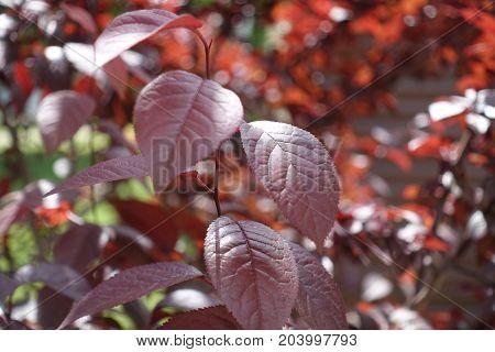Maroon Leafage Of Young Prunus Pissardii Tree