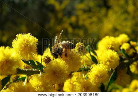 Bee pollinating native wild yellow wattle mimosa acacia blossom on a spring day in the Australian bush