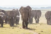 Herd of Elephants at Amboseli National Park, formerly Maasai Amboseli Game Reserve, is in Kajiado District, Rift Valley Province in Kenya. The ecosystem that spreads across the Kenya-Tanzania border. poster