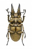 Bottom view of a bronze metallic Stag Beetle (Allotopus rosenbergi) from the Lucanidae family originating from Indonesia poster