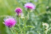 Cirsium vulgare Spear thistle Bull thistle Common thistle short lived thistle plant with spine tipped winged stems and leaves pink purple flower heads surrounded by spiny br. poster