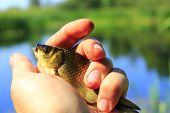 caught Prussian carp on the human hand poster